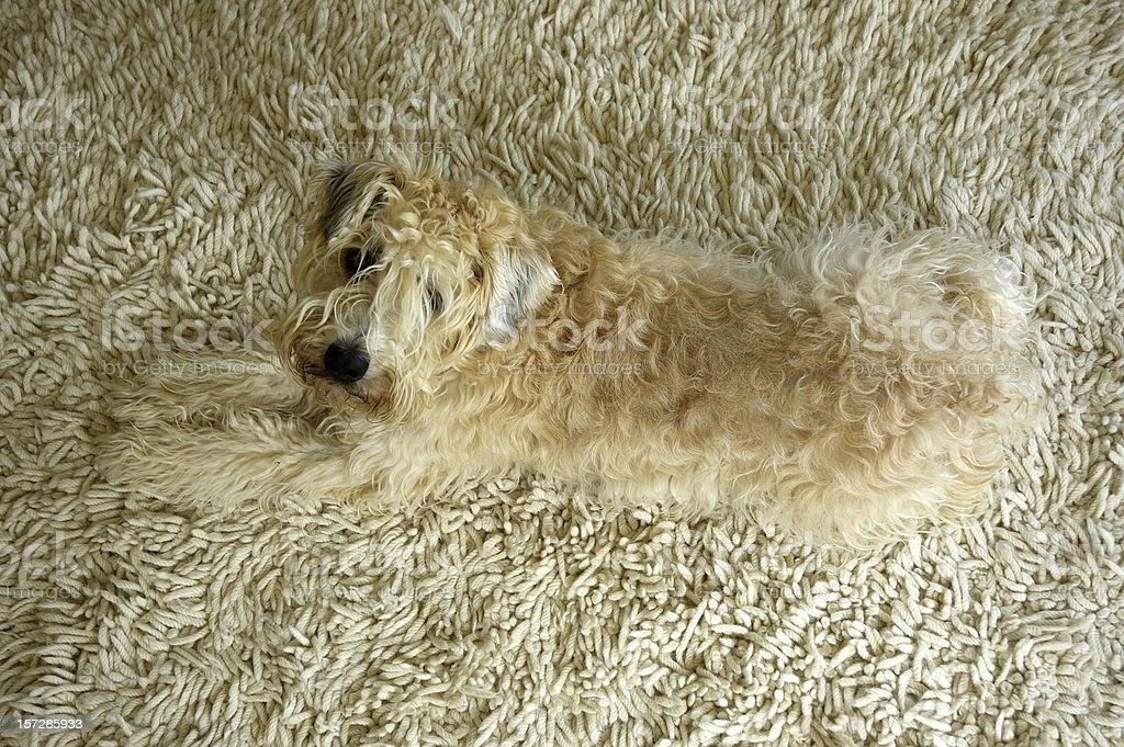 Wheaten Terrier on Rug stock photo