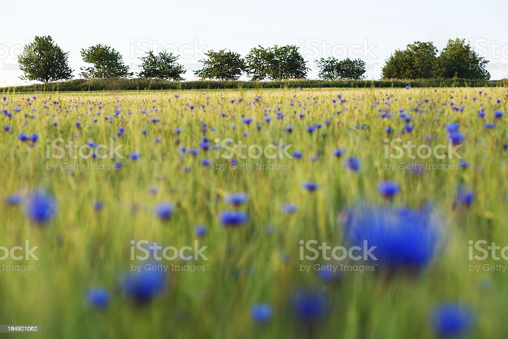 wheatfield and trees in june royalty-free stock photo
