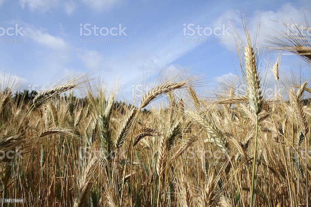 wheatfield in summer stock photo