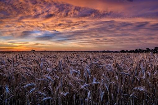 Sunset over Kansas wheat