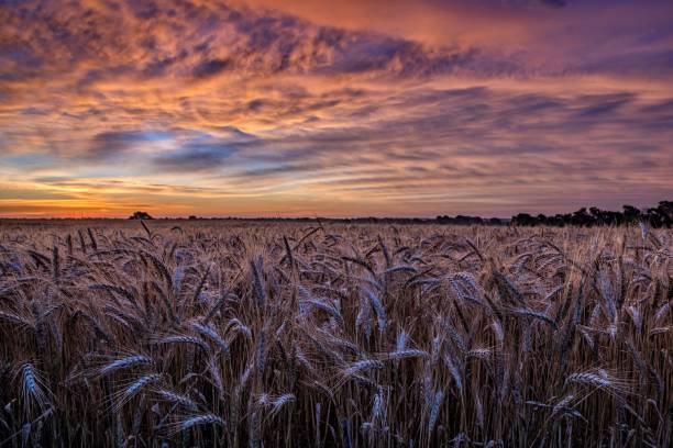 Wheatfield Sunset over Kansas wheat horizon over land stock pictures, royalty-free photos & images