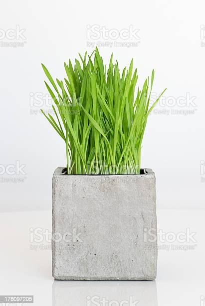 Photo of Wheatgrass growing in concrete pot