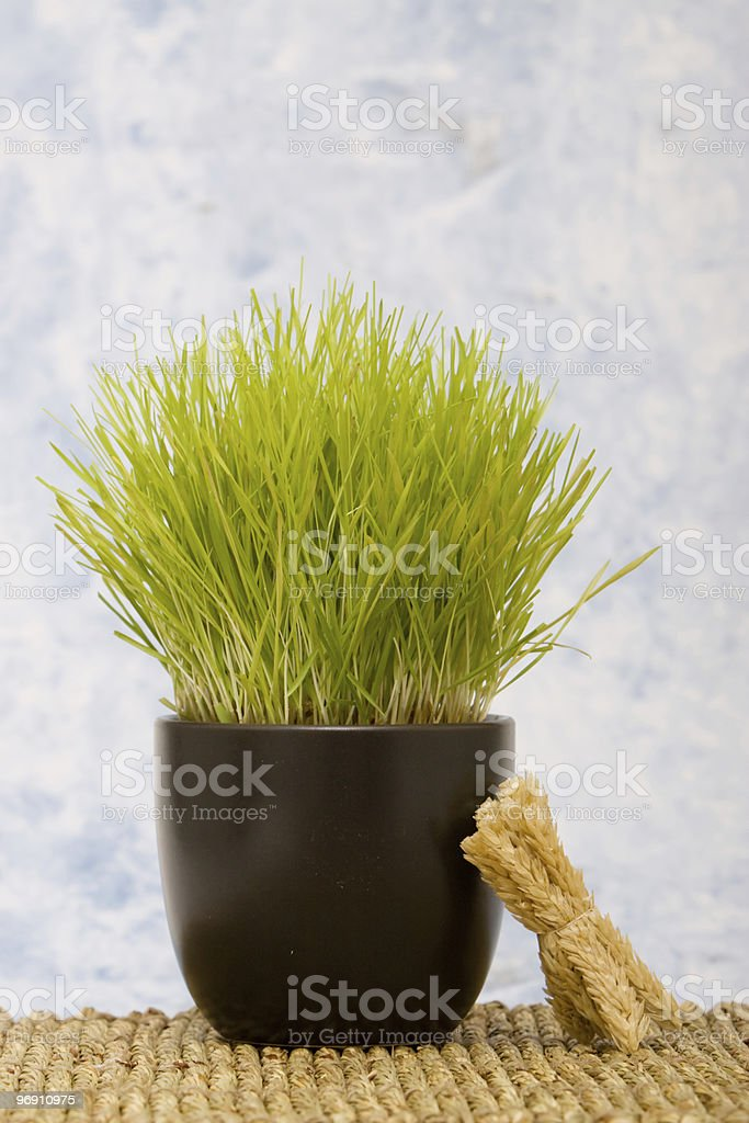 Wheatgrass in a pot royalty-free stock photo