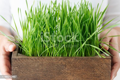 Chest view of an unrecognizable person in casual clothing is carrying a tray of wheatgrass in front of white background.