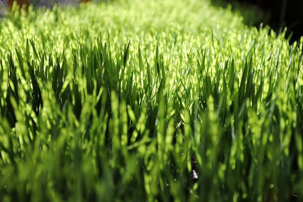 vetegräs - spirulinabakterie bildbanksfoton och bilder