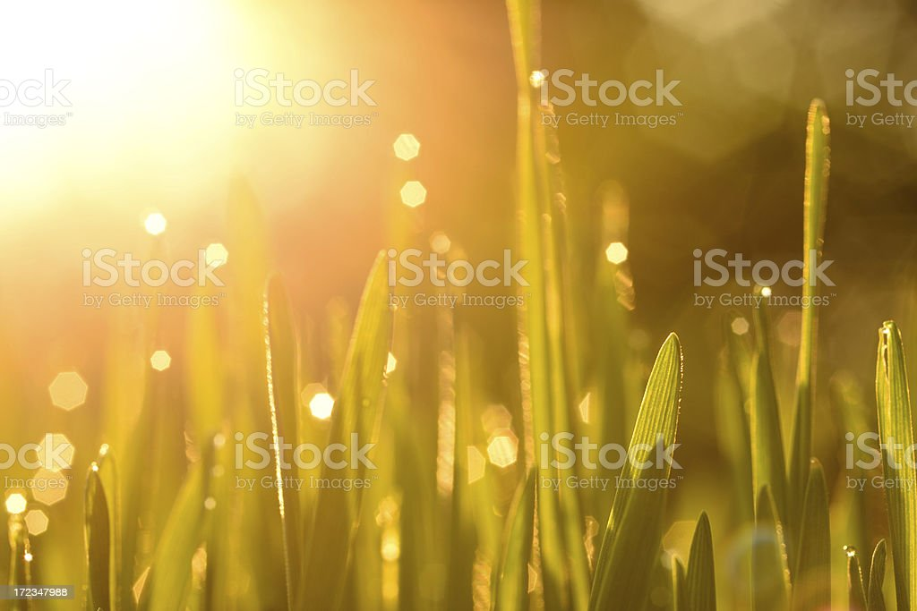 Wheatgrass with waterdrop at sunset royalty-free stock photo