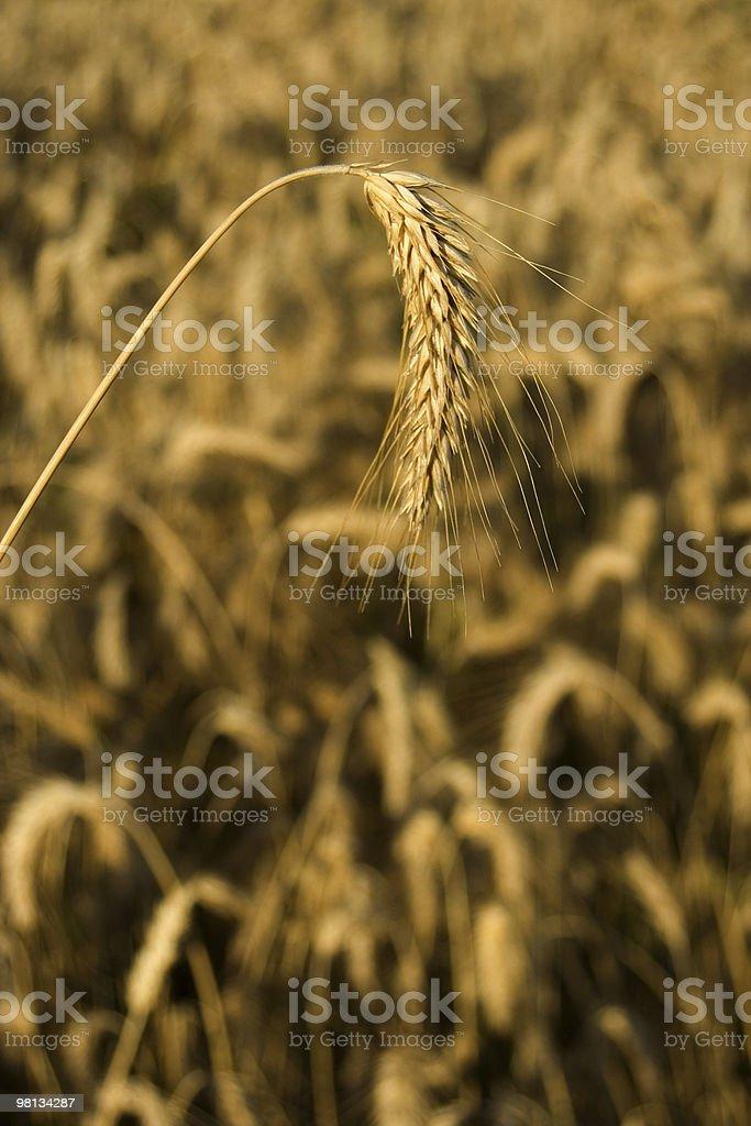 Wheat-rye-barley hybrid crop royalty-free stock photo