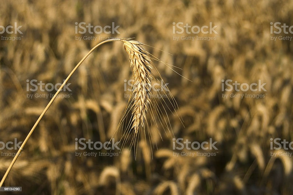 Wheat-rye-barley hybrid crop royalty-free stock photo
