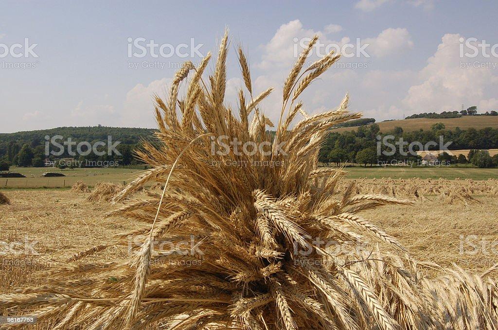 wheatsheef detail royalty-free stock photo