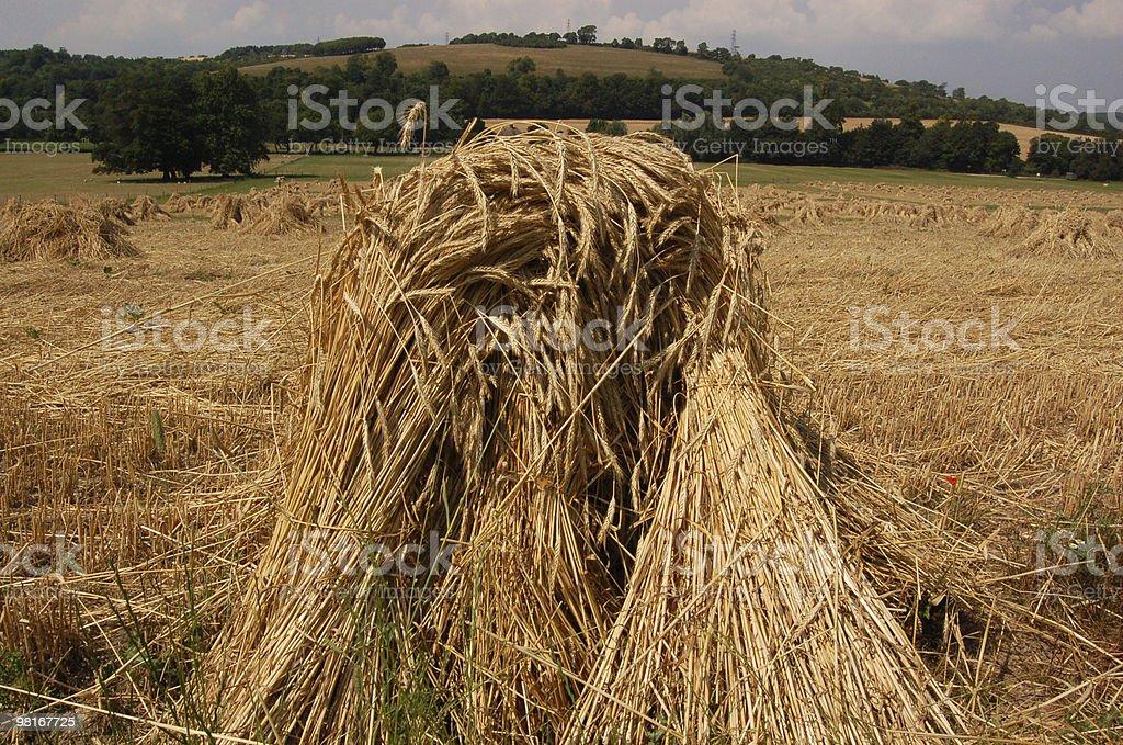 Wheatsheef royalty-free stock photo