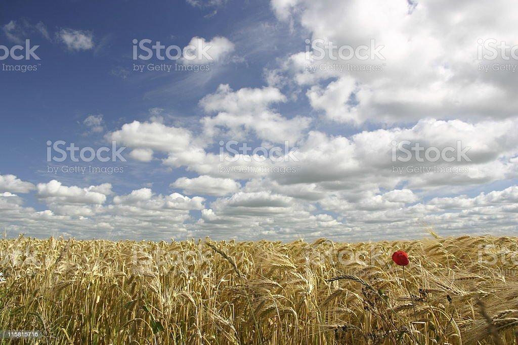 Wheet fields royalty-free stock photo