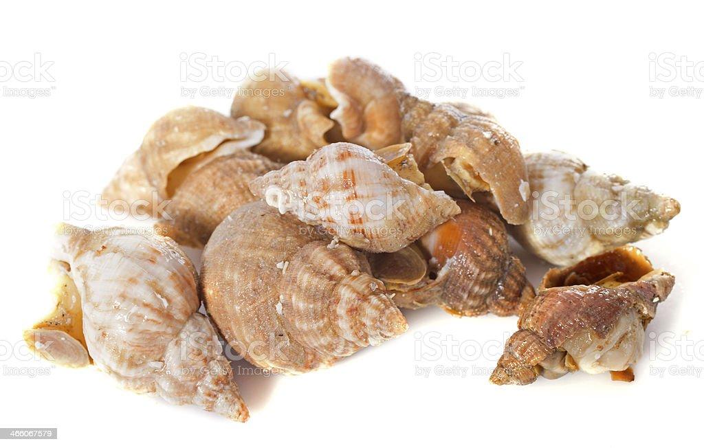 Como Cocinar Caracoles De Mar | Caracol De Mar Stock Foto E Imagen De Stock Istock