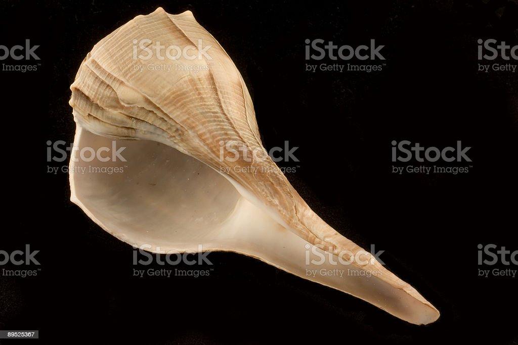 Whelk Sea Shell (Busycon Contrarium) royalty-free stock photo