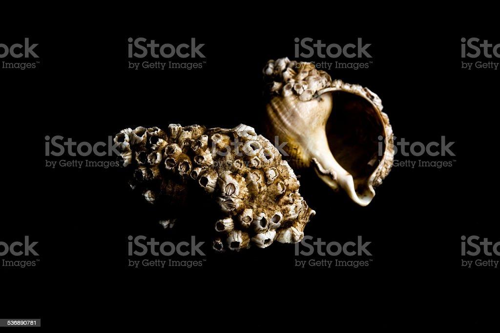 whelk shells stock photo