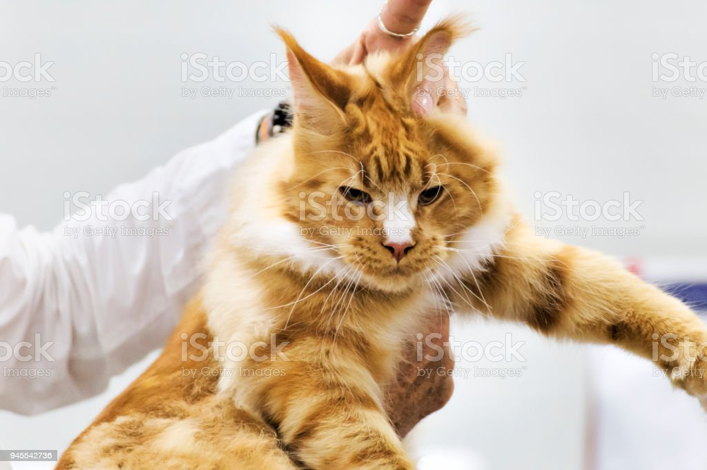 When a proud cat is caught by the scruff - selective focus stock photo