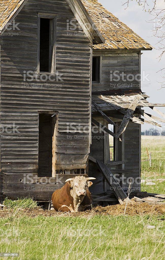 Quando tornate a casa, i Bovini hereford senza corna bull. foto stock royalty-free