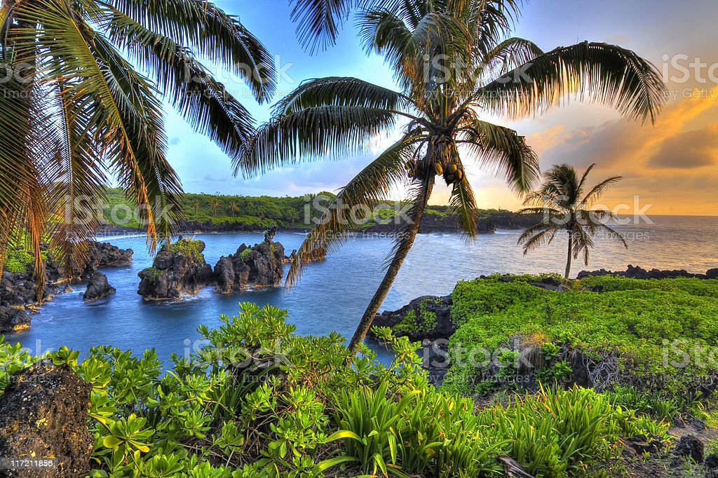Where Coconuts Grow royalty-free stock photo