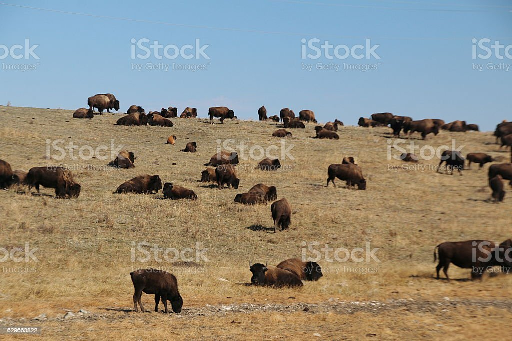 Where The Buffalo Roam stock photo