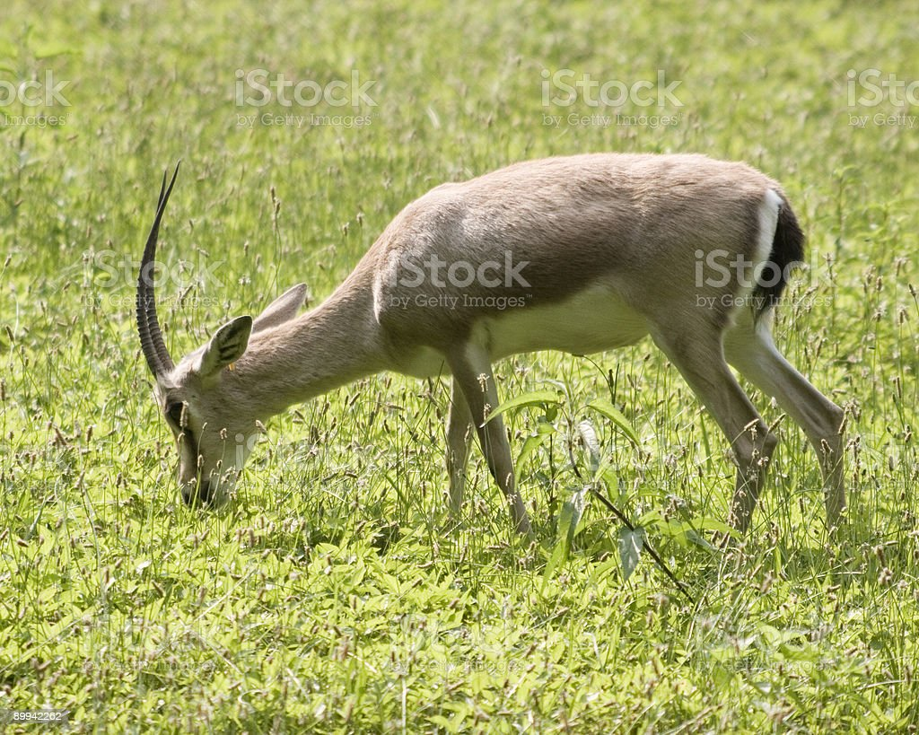 Where the Deer and Antelope Play stock photo