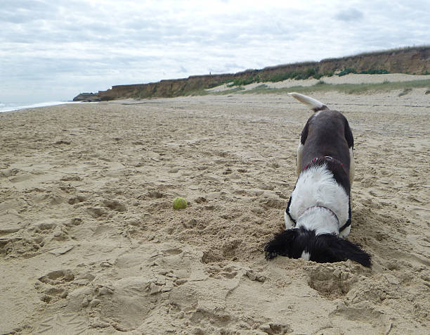 Wheres my ball gone? A dog has lost his ball on the beach and is digging a hole to find it but ends up burying their head in the sand head in the sand stock pictures, royalty-free photos & images