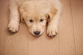 Shot of an adorable puppy lying on a floorhttp://195.154.178.81/DATA/i_collage/pi/shoots/783492.jpg