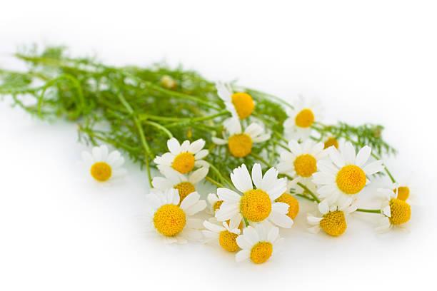 chamomiles whild. - planta de manzanilla fotografías e imágenes de stock