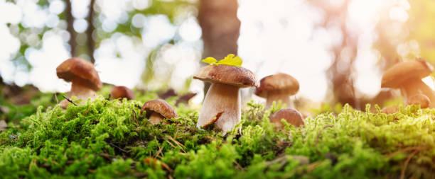 whild svamp utomhus i skogen på hösten - höst plocka svamp bildbanksfoton och bilder
