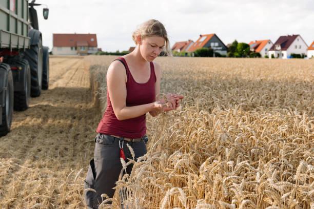 while harvesting a female farmer controls grain of a wheat field stock photo