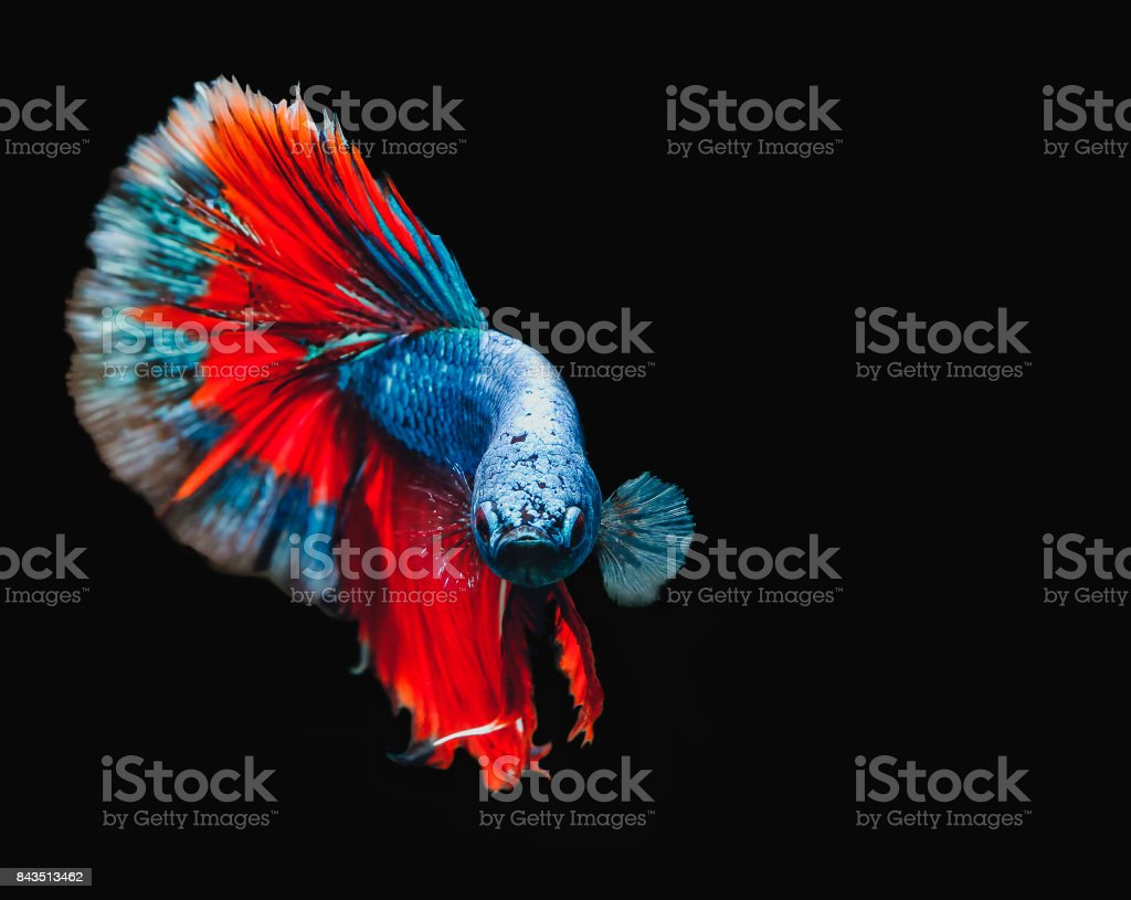 While motion capture fish interbreeding 'Half Moon' are blue and red. Isolated on a black background. stock photo