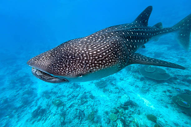 While shark While shark on the blue background whale shark stock pictures, royalty-free photos & images