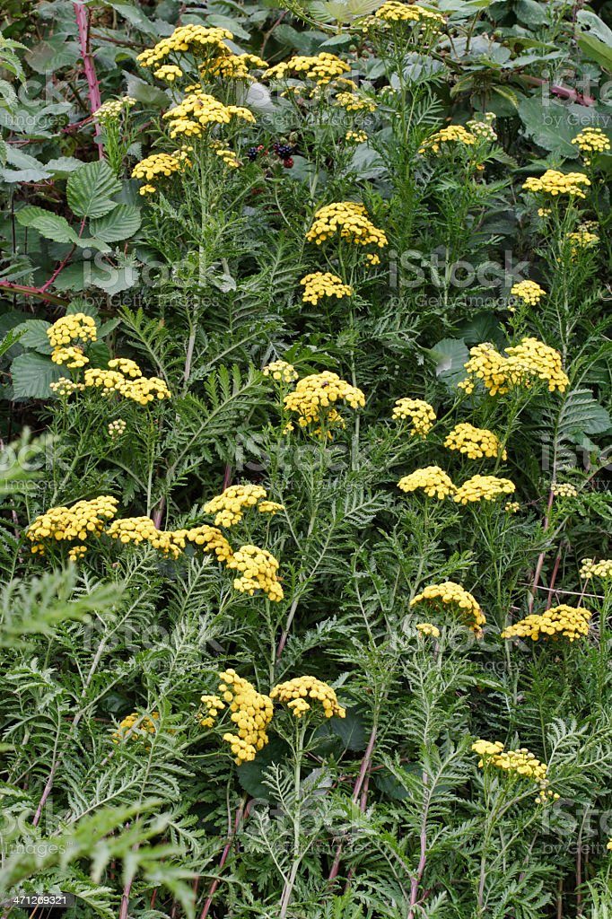 Yellow tansy wildflower Tanacetum vulgare side view royalty-free stock photo
