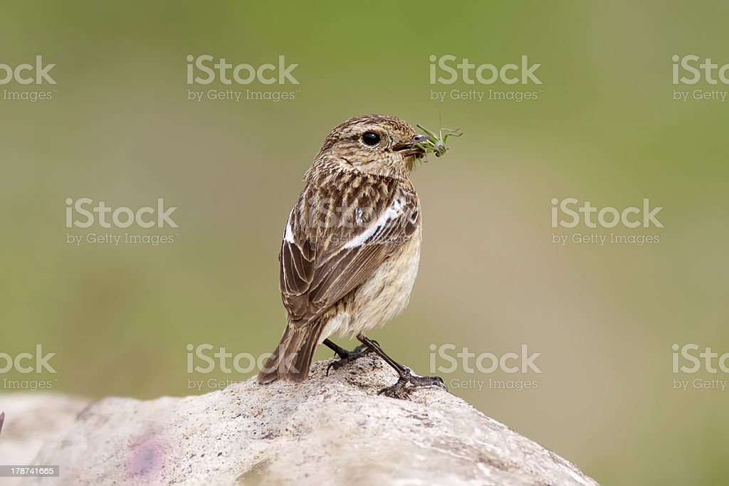 Whinchat Feeding stock photo