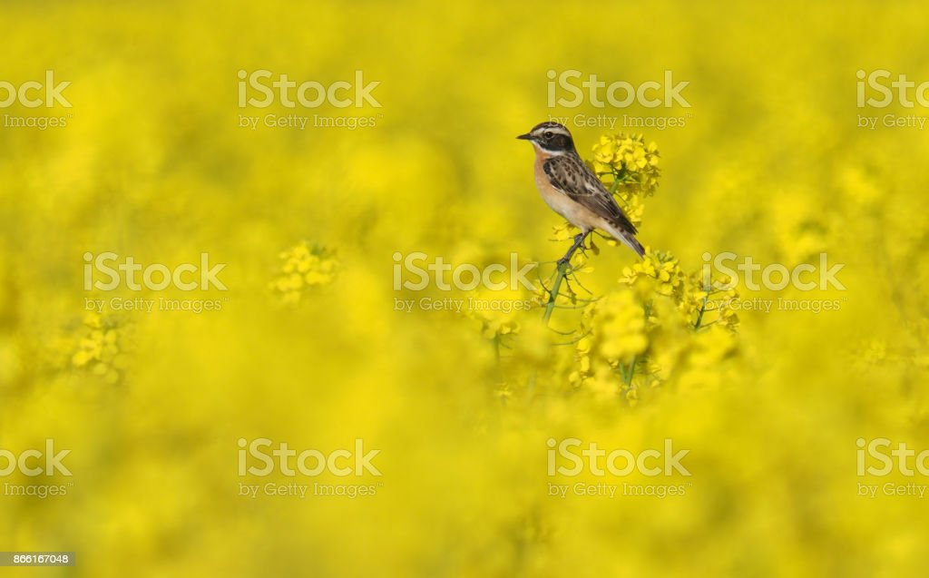 whinchat (Saxicola rubetra) in a field of rapeseed stock photo