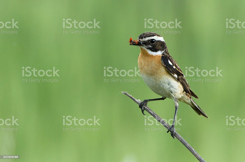 Whinchat on the branch stock photo