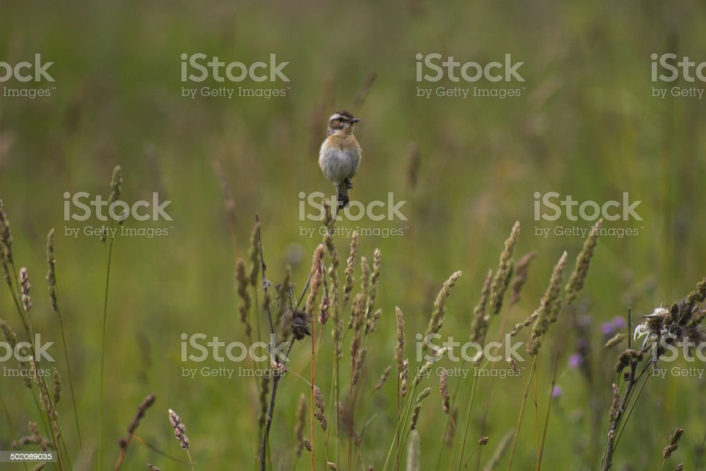 Whinchat on the stalk of a flower stock photo