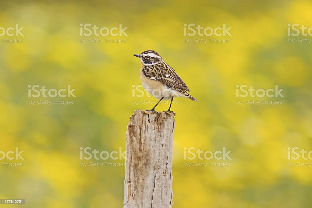 Whinchat On Yellow Background stock photo