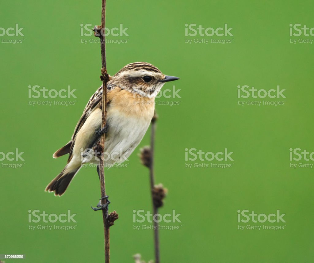 Whinchat perched on a twig stock photo