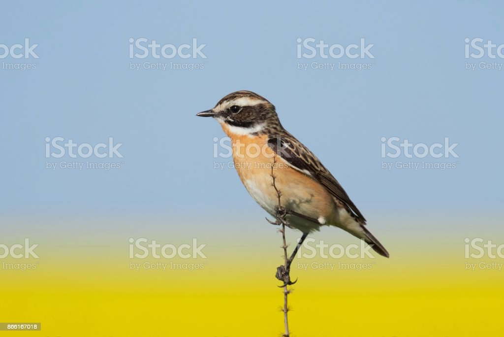 whinchat (Saxicola rubetra) with a field of blurred rapeseed in background stock photo