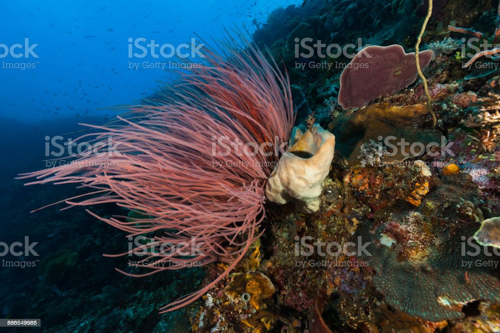 Whip Coral Ellisella ceratophyta, Beautiful Underwater Landscape, Pulau Buaya, Indonesia stock photo