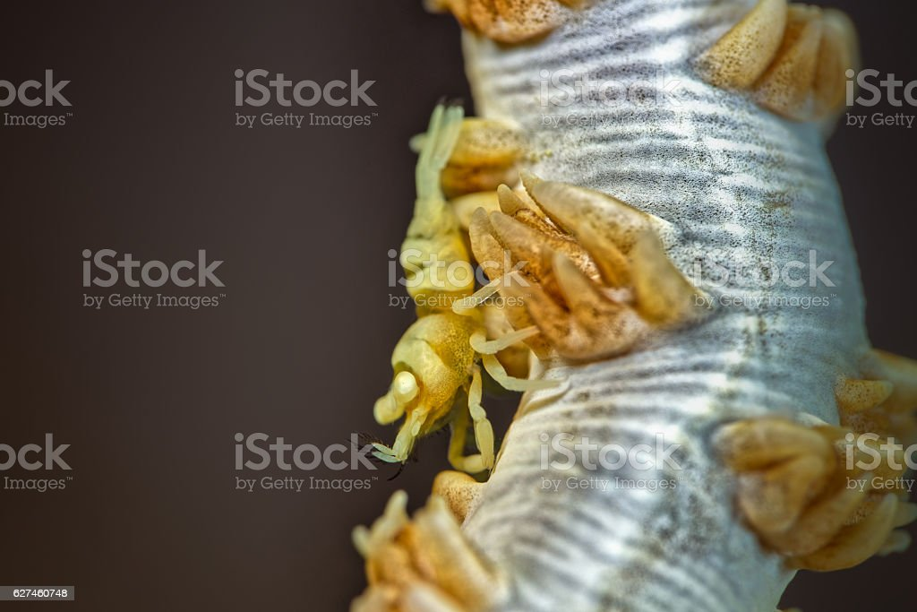 Whip Coral Shrimp (Pontonides unciger) yellow version on white coral stock photo
