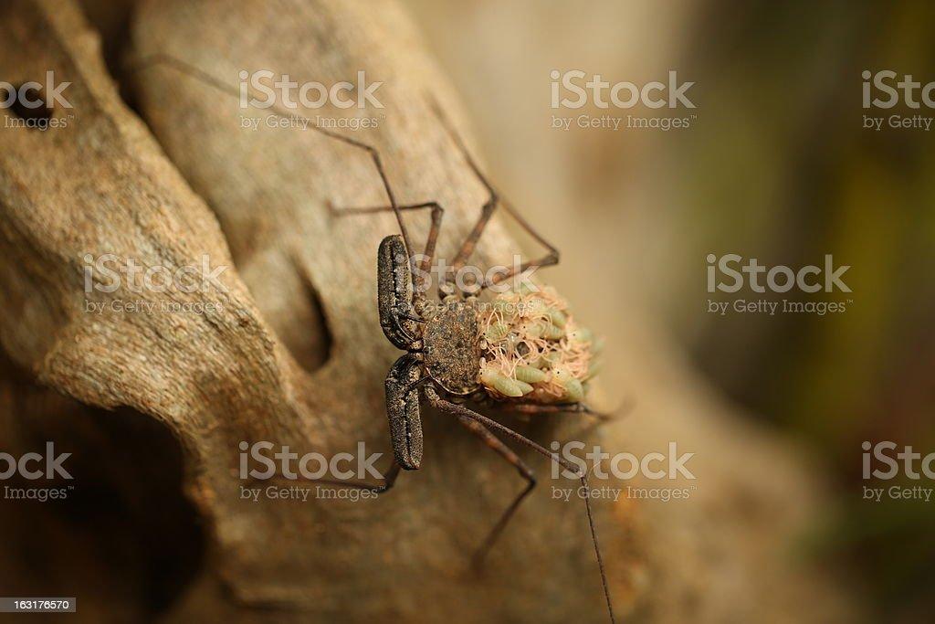 Whip scorpion royalty-free stock photo