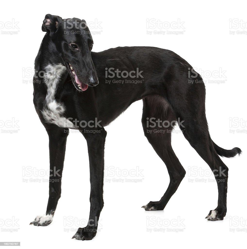 Whippet Black Dog royalty-free stock photo