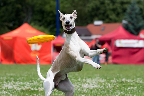 Whippet catching frisbee  sight hound stock pictures, royalty-free photos & images
