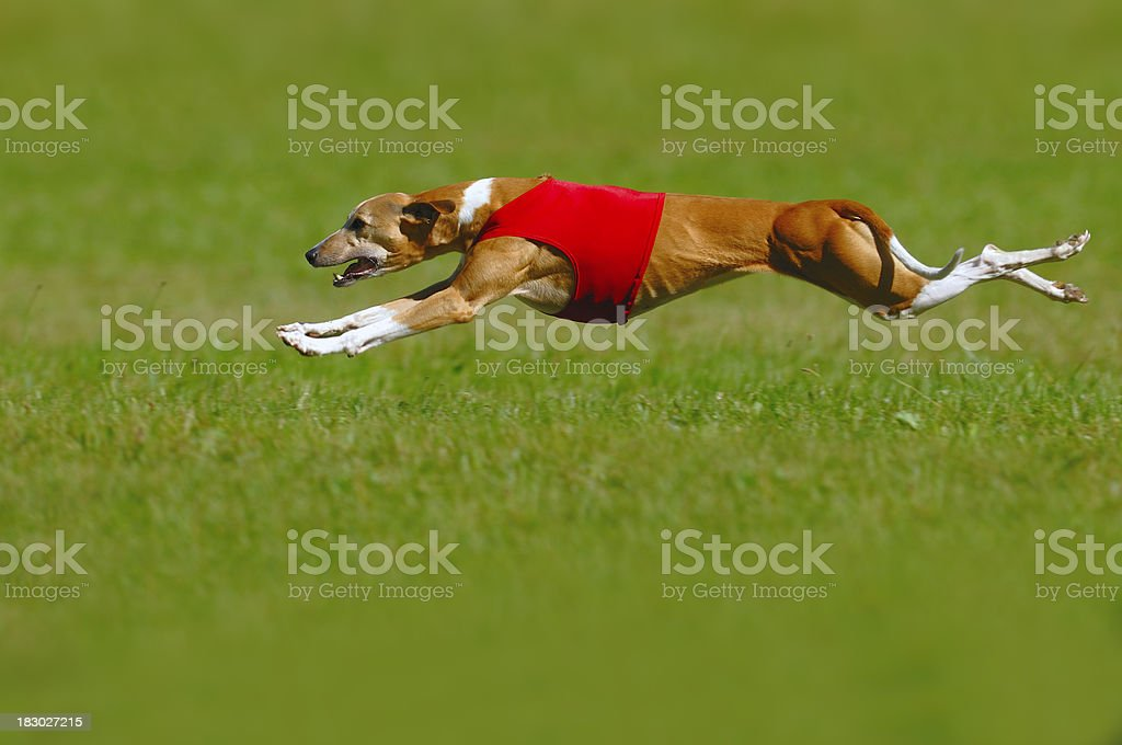 Whippet coursing stock photo