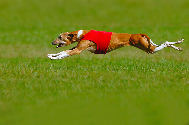 Whippet coursing A whippet lure coursing at full speed sight hound stock pictures, royalty-free photos & images