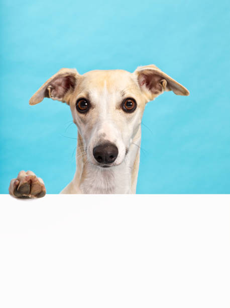 Whippet dog holding blank billboard Whippet dog with paw on blank billboard. Large copy space, turquoise background whippet stock pictures, royalty-free photos & images