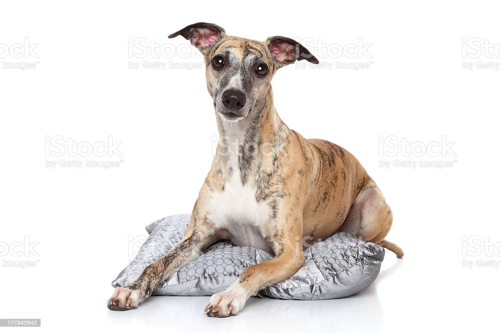 Whippet dog lying on pillow royalty-free stock photo