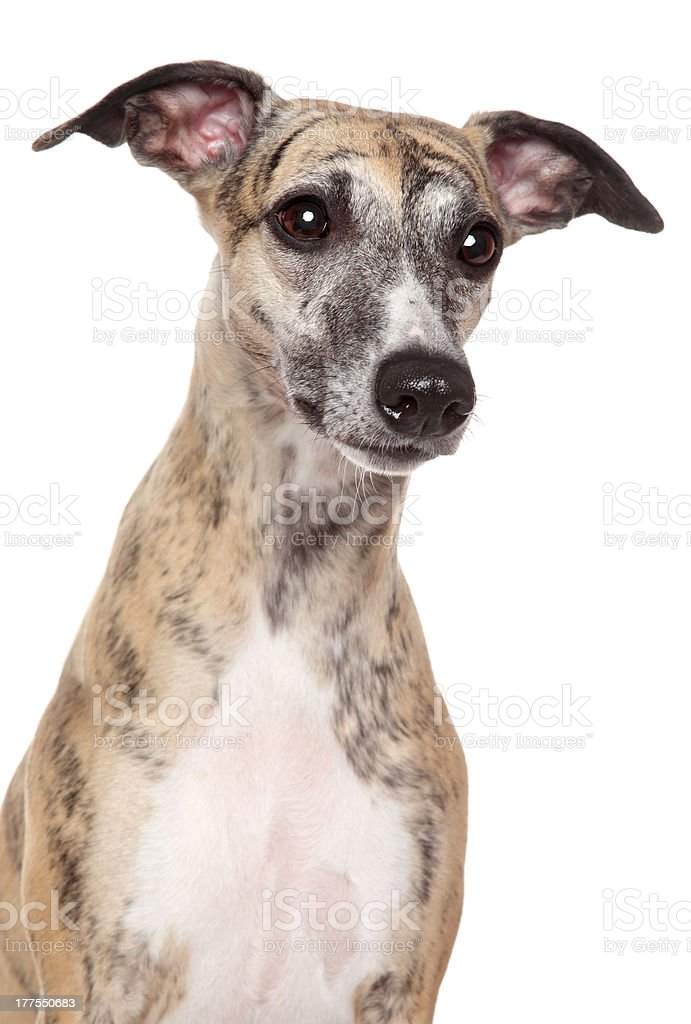 Whippet dog portrait on a white background royalty-free stock photo