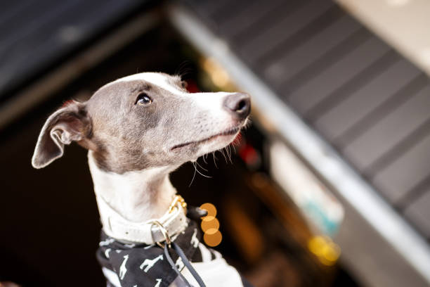 Whippet dog wearing bandana A white and gray cute whippet wearing bandana portrait whippet stock pictures, royalty-free photos & images