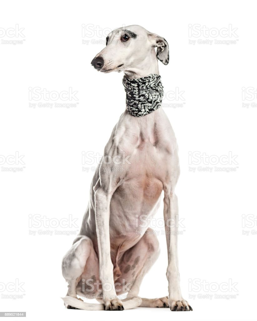 Whippet , Galgo espanol, dog, looking away, isolated on white (6 years old) stock photo